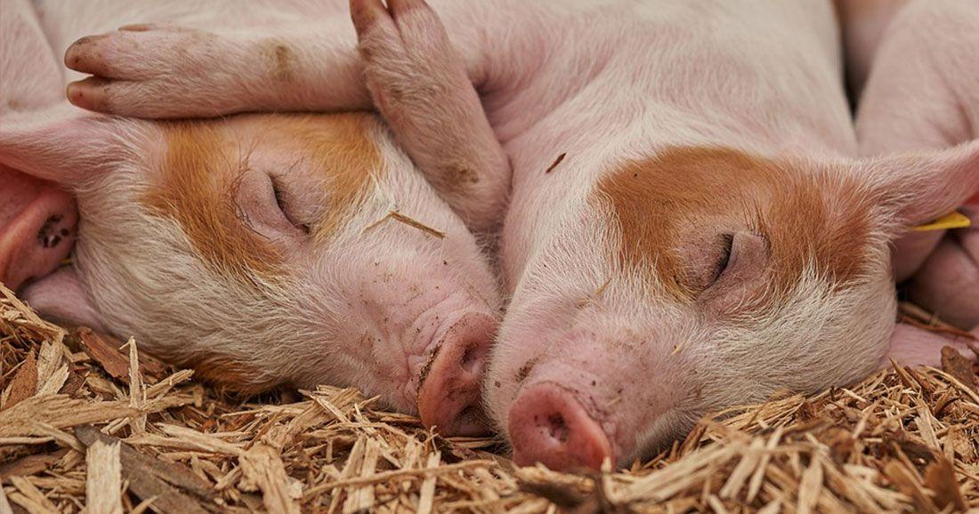une porc humain