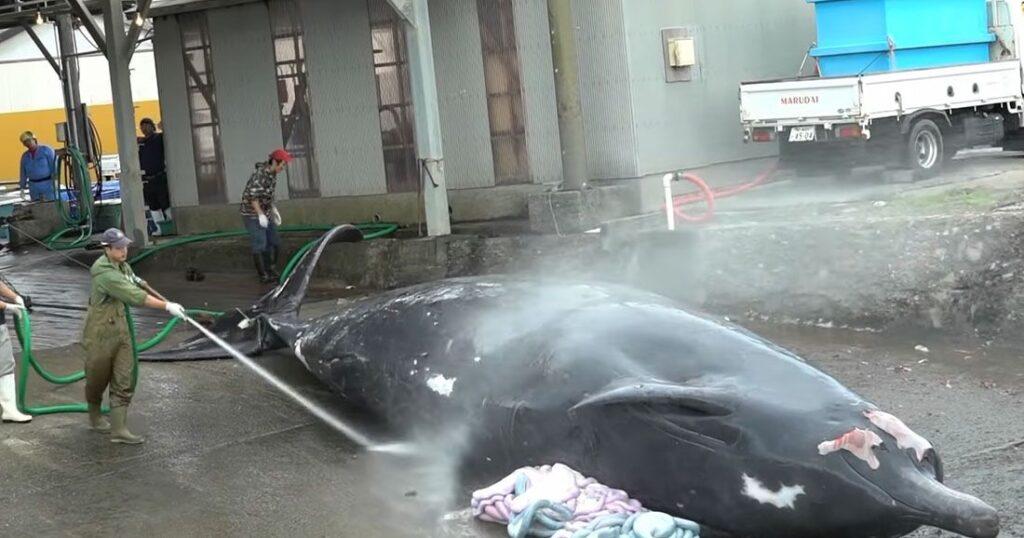 une chasse baleine