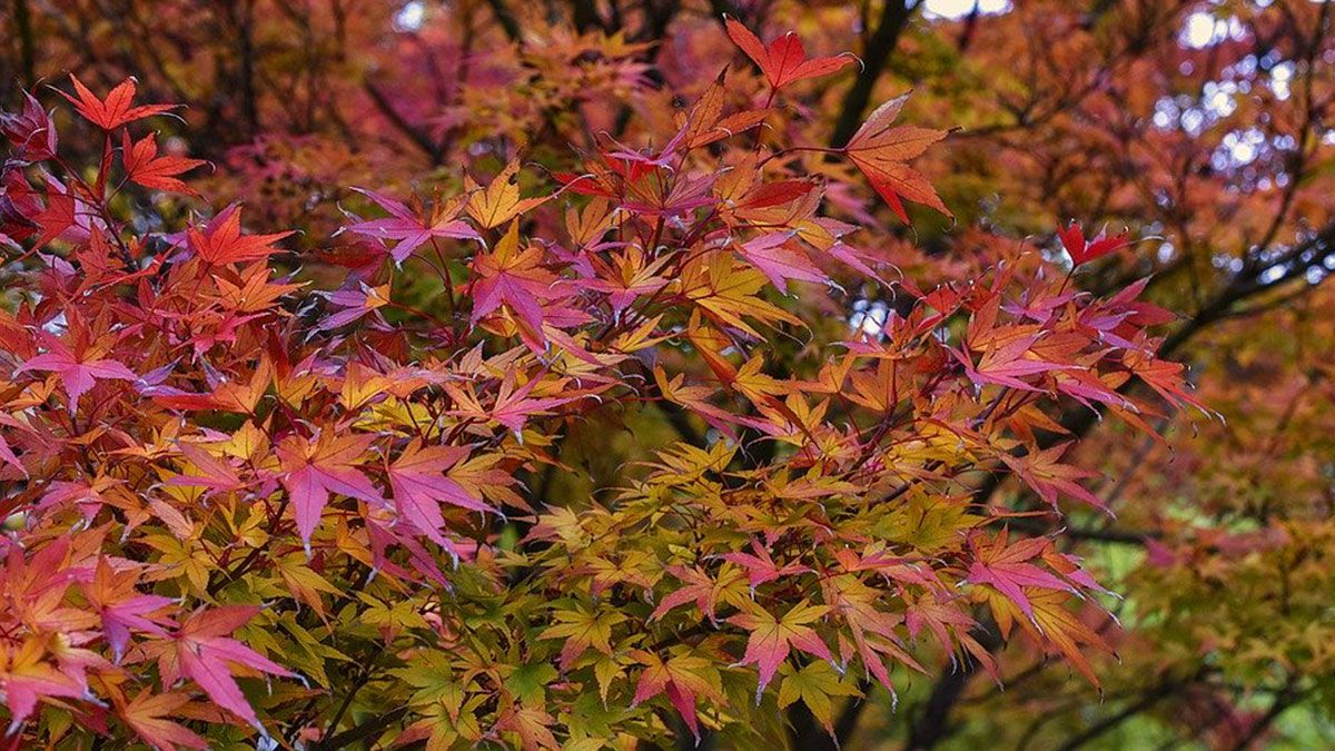Erable Du Japon Petit Érable du japon, acer palmatum : comment le planter et l
