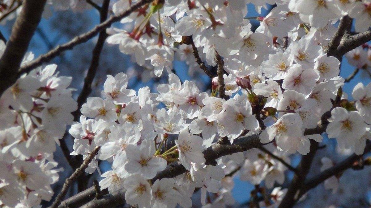 une sakura cerisier
