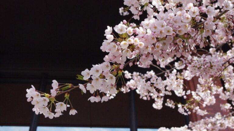 Sakura une