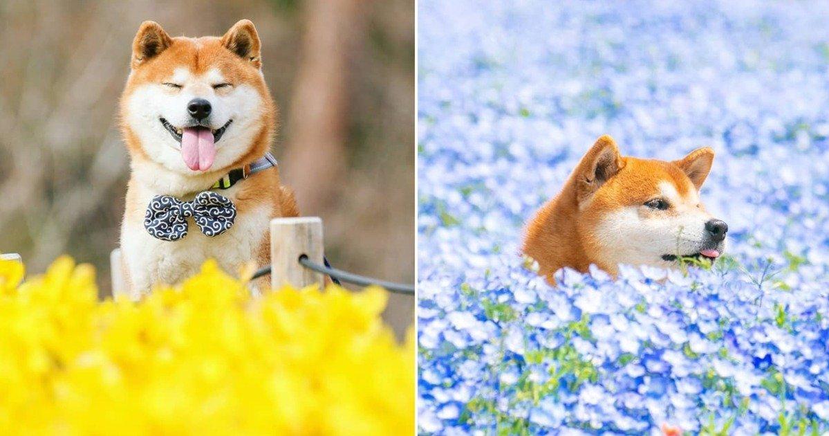 , Découvez Hachi, le Shiba Inu le plus heureux et coloré du Japon, Furansu