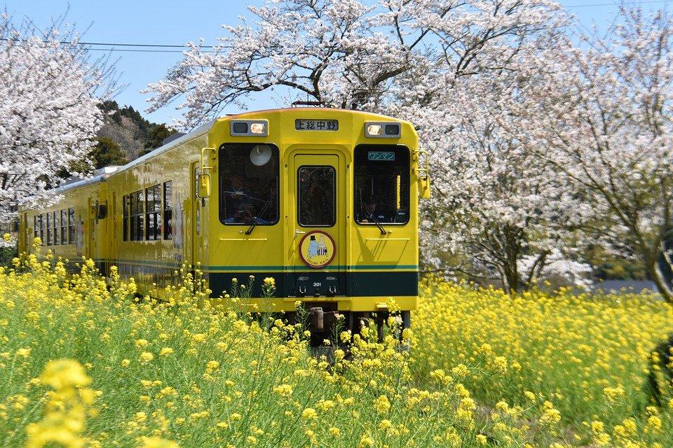 Un train jaune Japonais, entouré de cerisiers en fleur