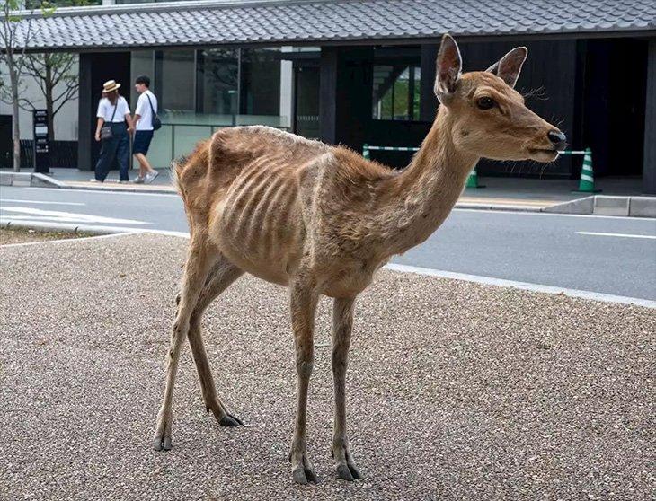 Un cerf à Nara, maigre