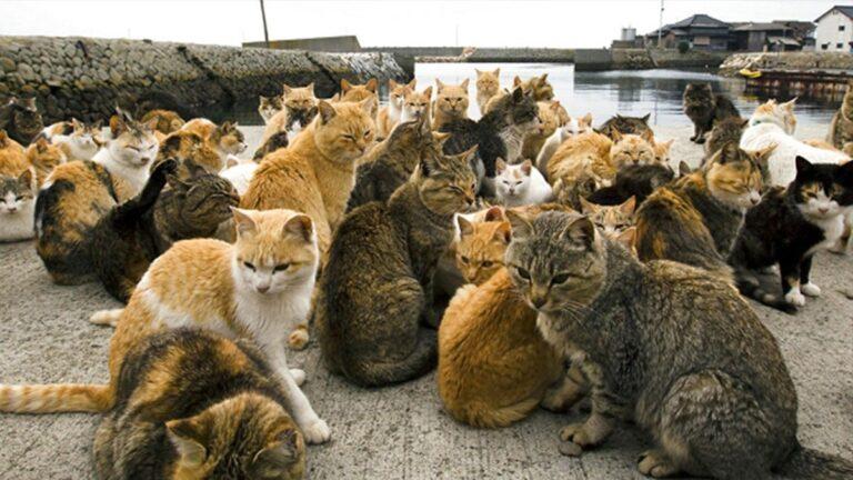 une chat aoshima