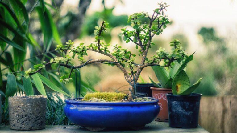 Un bonsai japonais