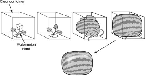 Schéma de la croissance d'une pastèque carrée